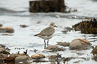Black-bellied Plover (Pluvialis squatarola), Oyster Bay nr. Cambell River, Vancouver Island, Canada   Photo: Peter Llewellyn