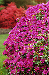 Rhododendron 'Hatsugiri' - Kurume azalea