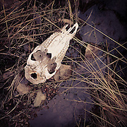 The skull of an elk lies next to a brook, white washed by countless winters, picked clean by nature.