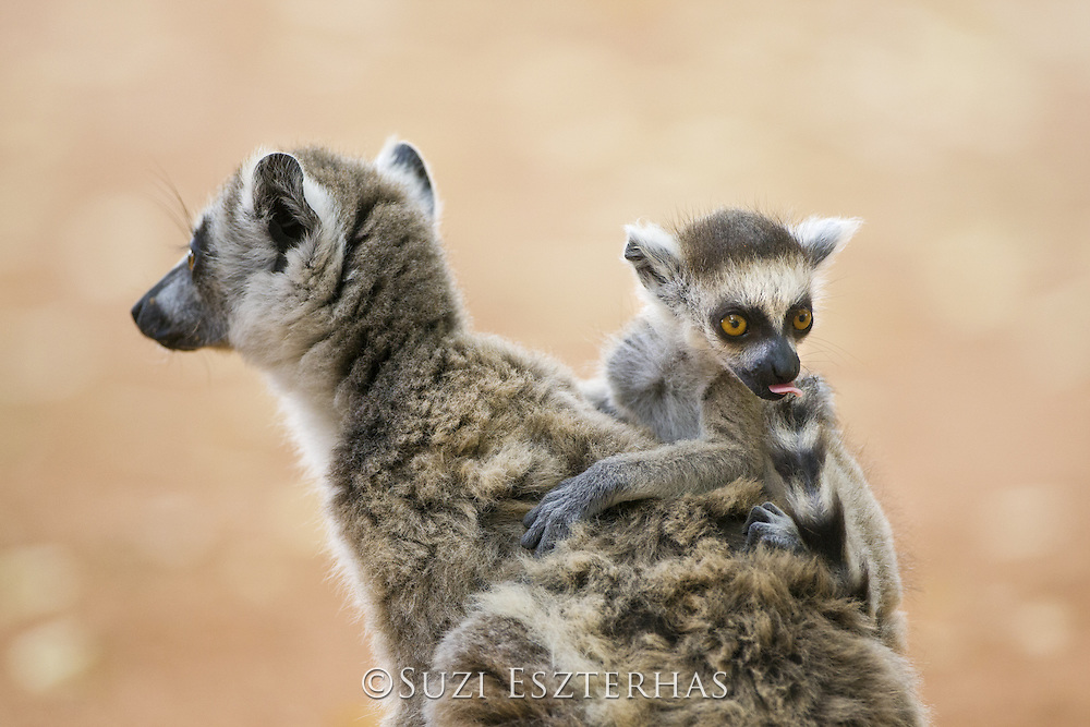 Ring-tailed Lemur<br /> Lemur catta<br /> 2-3 week old baby cleaning tail<br /> Berenty Private Reserve, Madagascar