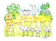(Egrets line up at a 'Pay and Display' meter to perform their mating display)