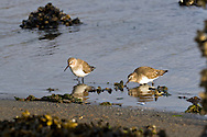Dunlin (Calidris alpina) flock forage for food along the shore of Penn Cove, Washington State.