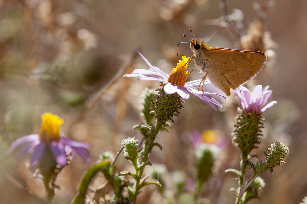 Ochlodes sylvanoides (Woodland Skipper) ♀ at Grizzly Flat, Angeles NF, Los Angeles Co, CA, USA, on California aster 10-Sep-16