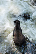 An adult American black bear sits on the edge of the falls looking for salmon at Anan Creek in the Tongass National Forest, Alaska. Anan Creek is one of the most prolific salmon runs in Alaska and dozens of black and brown bears gather yearly to feast on the spawning salmon.
