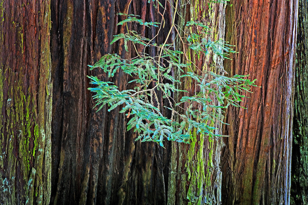 redwood branch among trunks CA.
