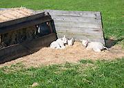 Lambs, Texel, Netherlands,