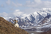 Dall's Sheep, rams, spring, Polychrome Pass, Denali National Park, Alaska. Digital original, ©Robin Brandt #2006_1781