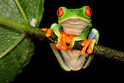 Red-eyed Tree Frog (Agalychnis callidryas), rainforest, La Selva Biological Station, Costa Rica |  Biologische Forschungsstation La Selva, Costa Rica