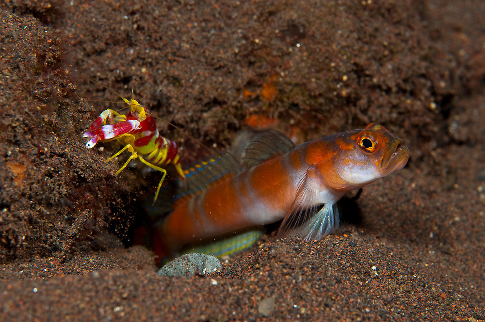 Flagtail Shrimp Goby (Amblyeleotris yanoi) and Alpheid shrimp photographed in Tulamben, Bali, Indonesia.