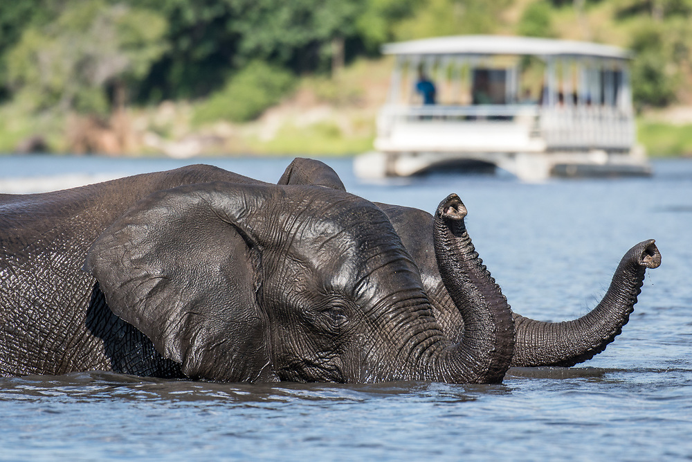 Two elephants cool off in the Chobe River, a tour barge is visible in the background. Chobe National Park - Botswana