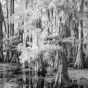 Cypress Boughs And The Black Water - Caddo Lake, Texas - Infrared Black & White
