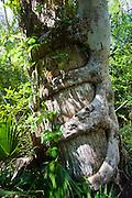 Strangler fig, Florida Everglades, United States of America