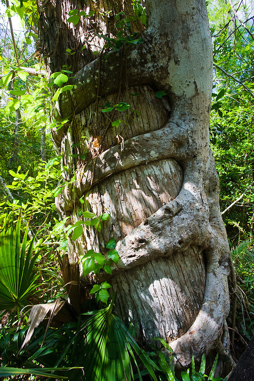 Strangler fig, Florida Everglades, United States of America