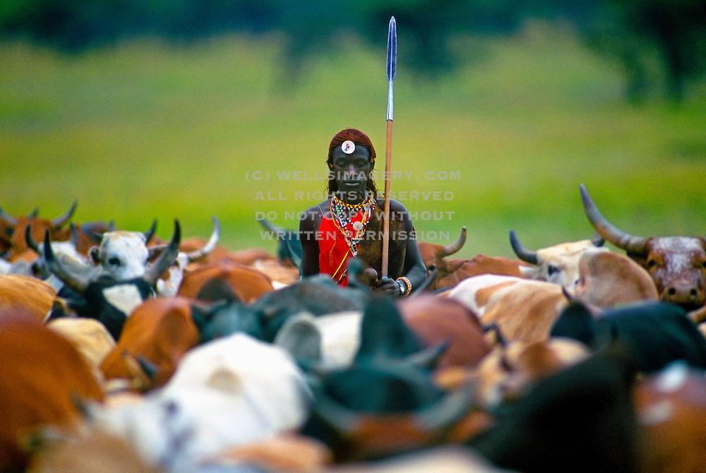 Image of a Masai Mara warrior herding cattle, Masai Mara National Reserve in Kenya, model released