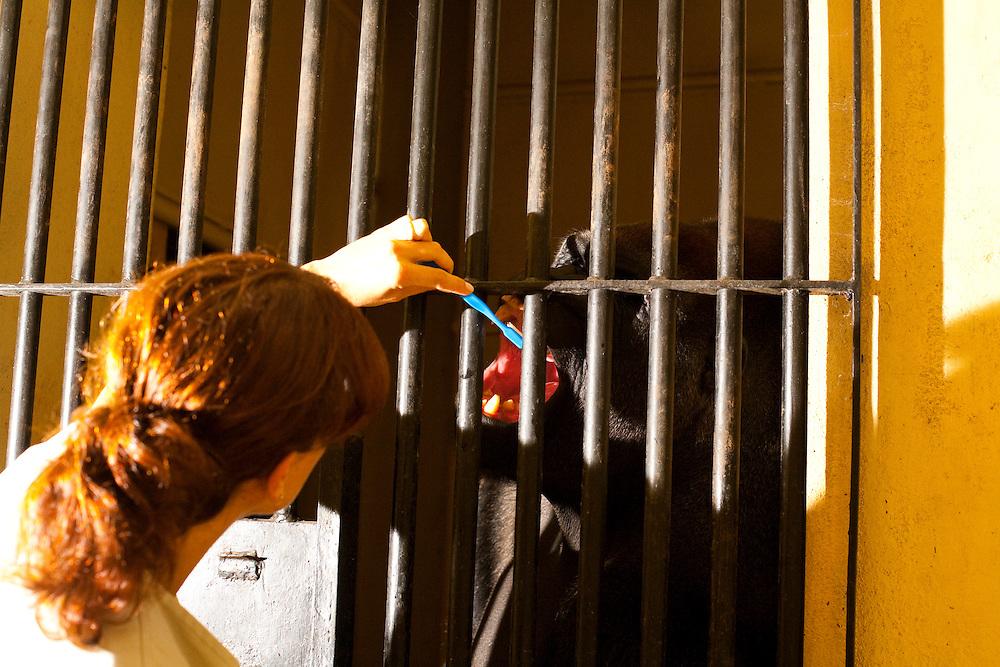 Belo Horizonte_MG, Brasil...Gorila IDI Amim, do zoologico de Belo Horizonte, o unico da America do Sul. Chegou ao zoo em 1975 aos dois anos de idade. Ele e a principal atracao do zoologico...The male gorilla IDI Amim (Belo Horizonte Zoological and Botanical Garden Foundation, Brazil), He is the the only one in South America. He is the main attraction of the zoo...Foto: LEO DRUMOND / NITRO