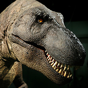 A lifelike animatronic of a Tyrannosaurus rex, a three quarter size version of Sue, the Field Museum&rsquo;s famous T-rex, will roar and their heads will follow visitors along with a Triceratops and the dreaded Velociraptors. <br /> Photography by Jose More