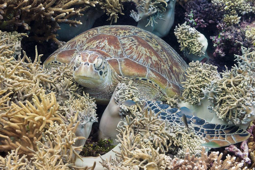 Green Turtle (Chelonia mydas) resting in coral reef - Agincourt reef, Great Barrier Reef, Queensland, Australia.