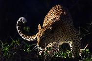 Adult female leopard (Panthera pardus) at night,  Inyati Private Game Reserve, South Africa<br /> <br /> Weiblicher Leopard (Panthera pardus) aus dem Inyati Private Game Reserve im Westen des Krueger Nationalparks zu Beginn der Regenzeit im November