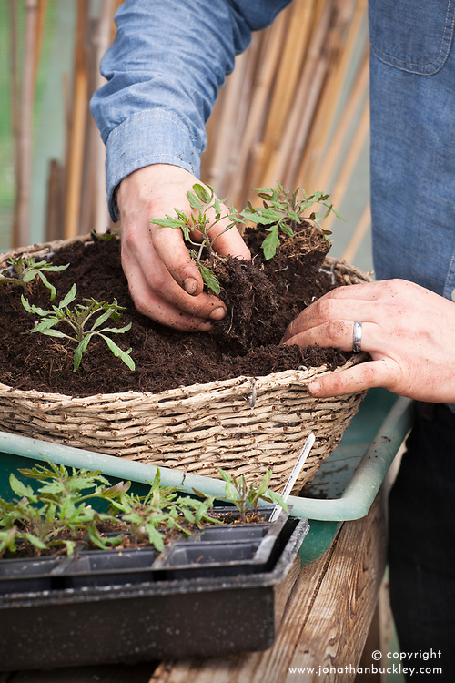 Potting up tomatoes into a hanging basket