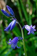 Bluebells, England