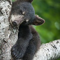 Black bear cub (Ursus americana) New Brunswick, Canada, July 2012.