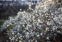 Hedge of Prunus spinosa - Blackthorn, Sloe - growing on a nature reserve in Gloucestershire