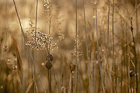 Field grass at sunset.