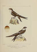 hand coloured sketch Top: white-tipped swift (Aeronautes montivagus [Here as Cypselus montivagus]) Bottom: Andean swift (Aeronautes andecolus [Here as Cypselus andecolus]) From the book 'Voyage dans l'Amérique Méridionale' [Journey to South America: (Brazil, the eastern republic of Uruguay, the Argentine Republic, Patagonia, the republic of Chile, the republic of Bolivia, the republic of Peru), executed during the years 1826 - 1833] 4th volume Part 3 By: Orbigny, Alcide Dessalines d', d'Orbigny, 1802-1857; Montagne, Jean François Camille, 1784-1866; Martius, Karl Friedrich Philipp von, 1794-1868 Published Paris :Chez Pitois-Levrault et c.e ... ;1835-1847