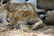 Tanzania wildlife safari lion cub