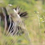 Zebra in long grass field.