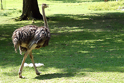 24 July 2005:   The ostrich or common ostrich is either one or two species of large flightless birds native to Africa, the only living member of the genus Struthio, which is in the ratite family