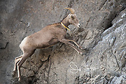 A tagged Bighorn sheep jumps up the side of a rocky cliff.