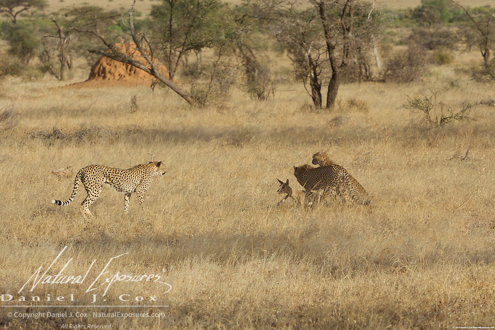Cheetah, a mother watches her two older cubs as they begin chasing a baby grants gazelle in Samburu national Reserve, Kenya