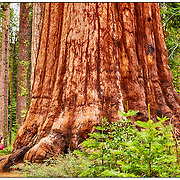 Giant Sequoia in the Mariposa grove, Yosemite National Park, California, USA