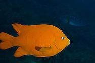 Garibaldi, Hypsypops rubicundus, Profile, Laguna Beach California
