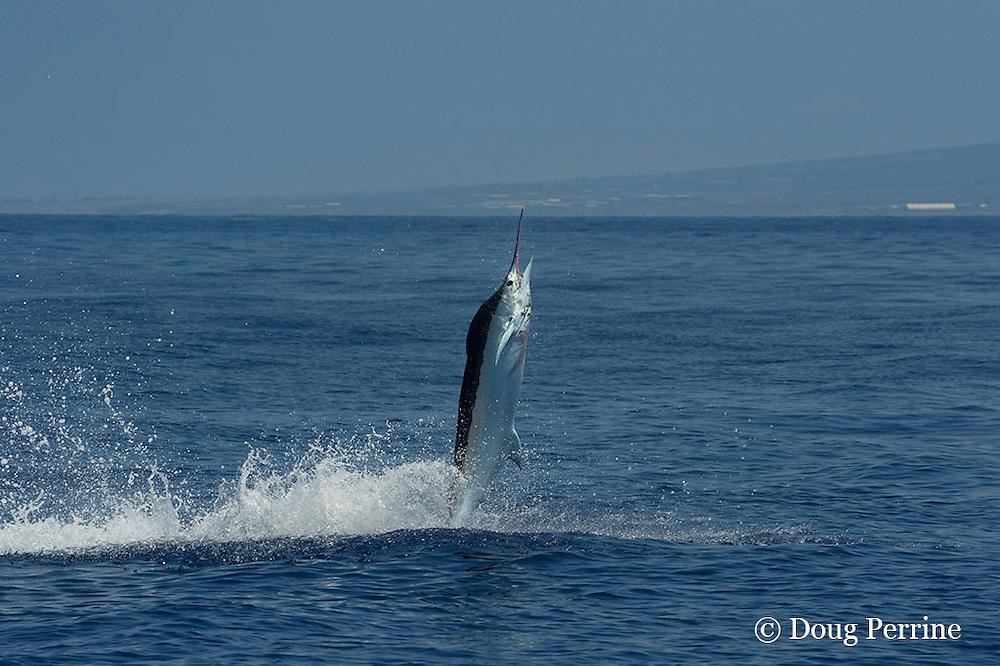 Pacific blue marlin, Makaira nigricans or Makaira mazara, jumps while hooked up during the Hawaii International Billfish Tournament, Kailua Kona, Hawaii ( Central Pacific Ocean )