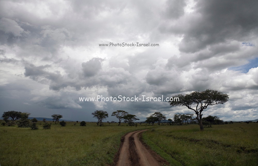 a dirt track and storm clouds in Serengeti National Park is a region of grasslands and woodlands in United Republic of Tanzania