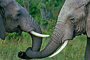 Elephants greeting, showing affection, part of a family group,Masai Mara National Reserve, Kenya