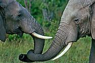 Elephants greeting, Masai Mara National Reserve, Kenya