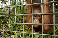 A juvenile orangutan makes a nest in his cage at IAR<br /><br />International Animal Rescue (IAR)<br />Ketapang<br />West Kalimantan Province<br />Island of Borneo<br />Indonesia
