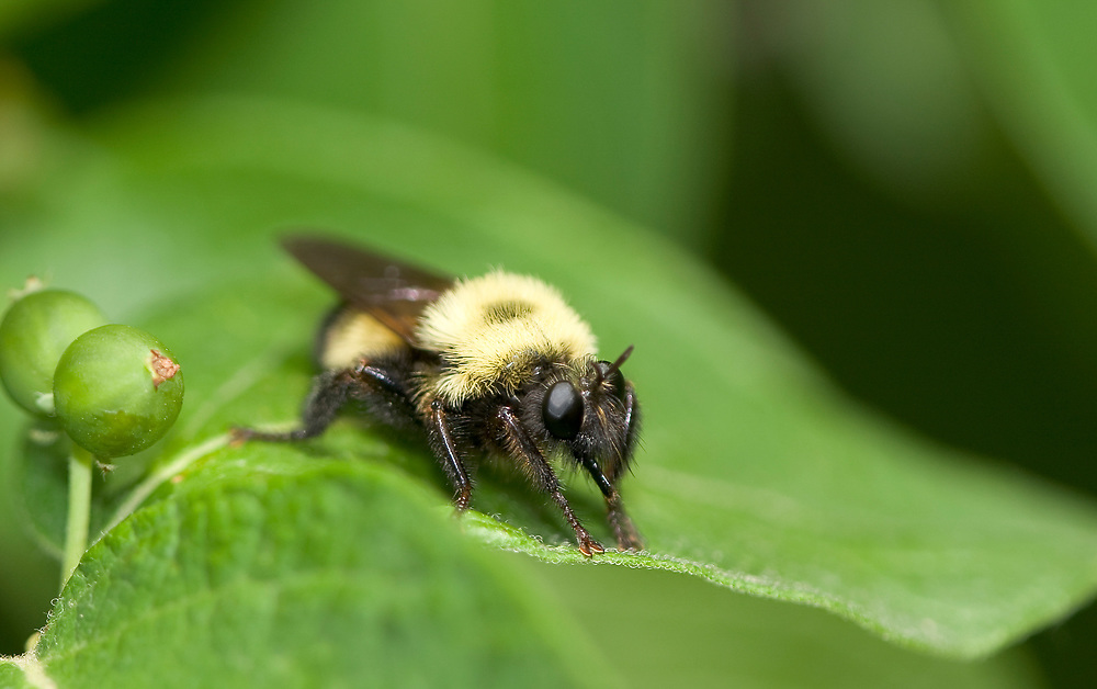 Robber Fly, or Bee Hunter (Laphria thoracica)