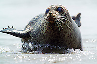 Seal lying in shallow water