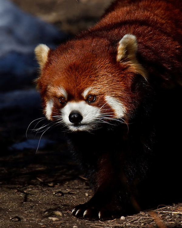 A very rare species of Red Panda.