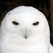 A Snowy Owl, Bubo scandiacus, staring. Lehigh Valley Zoo, Schnecksville, Pennsylvania, USA
