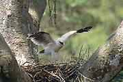 Crested Eagle Chick on Nest (excercising wings)<br />