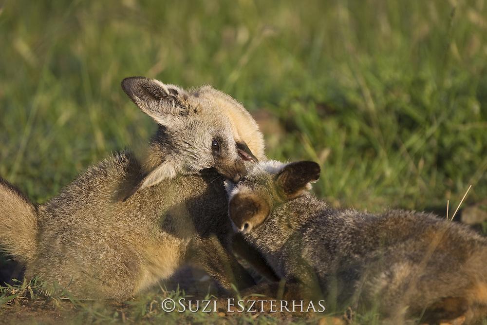 Bat-eared fox<br /> Otocyon megalotis<br /> 8 month old pups playing<br /> Masai Mara Reserve, Kenya