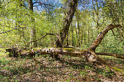 Woodland scene of silver birch trees, Betula pendula, one fallen, at Bruern Wood in The Cotswolds, Oxfordshire, UK