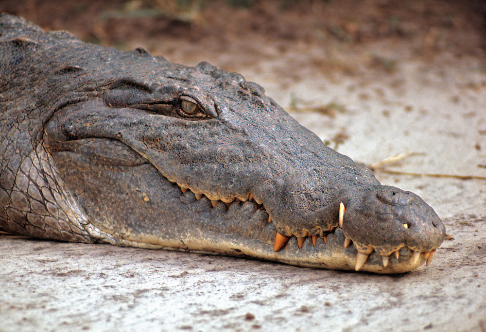 A crocodile pretends to be sleeping in Murchison Falls National Park, Uganda.