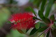 Bottle brush, flower, Kula Botanical Garden, Upcountry, Maui, Hawaii