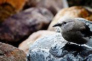 Grey Jay at Lake Louise